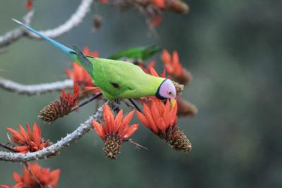 Blossom-Headed Parakeet