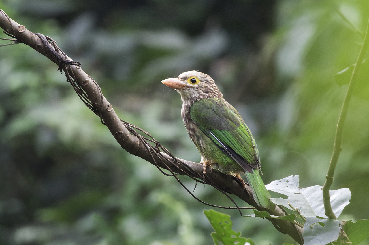 Lineated Barbet@ Evergreen natural forest, Chittagong. November -2017