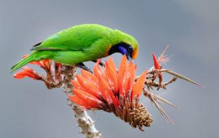 Golden-fronted leafbird @ Satchori National Park ,Sylhet. February -2018