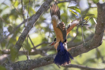 A wonderful moment of a Black-capped kingfisher