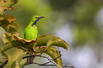Golden-fronted leafbird @ Natural Mangrove forest Sundarbans, Khulna. November -2018